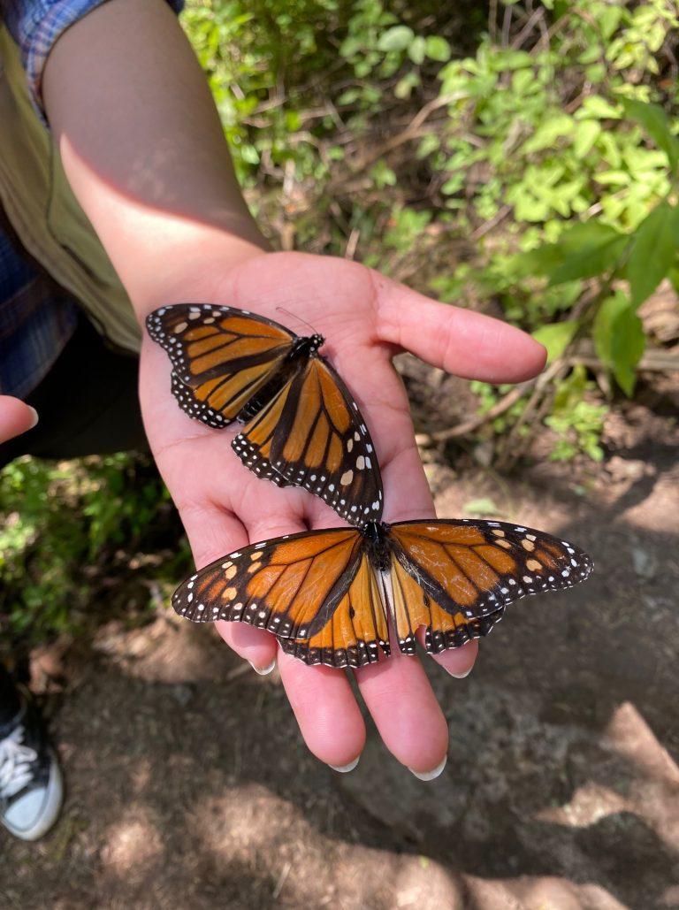 Monarchfalter Mexiko